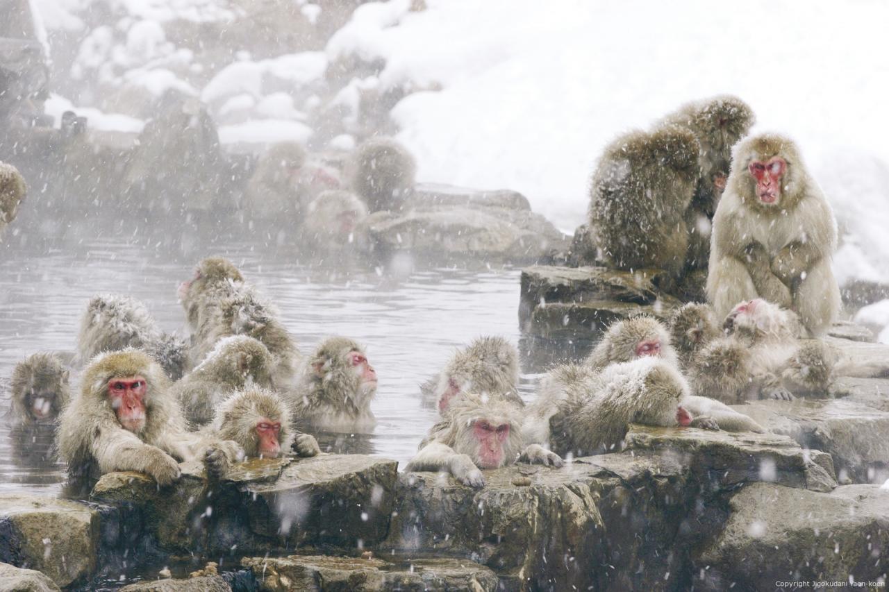 CÔNG VIÊN KHỈ JIGOKUDANI: GẶP CÁC CHÚ KHỈ TUYẾT - KVBro - Nhịp Sống Nhật Bản