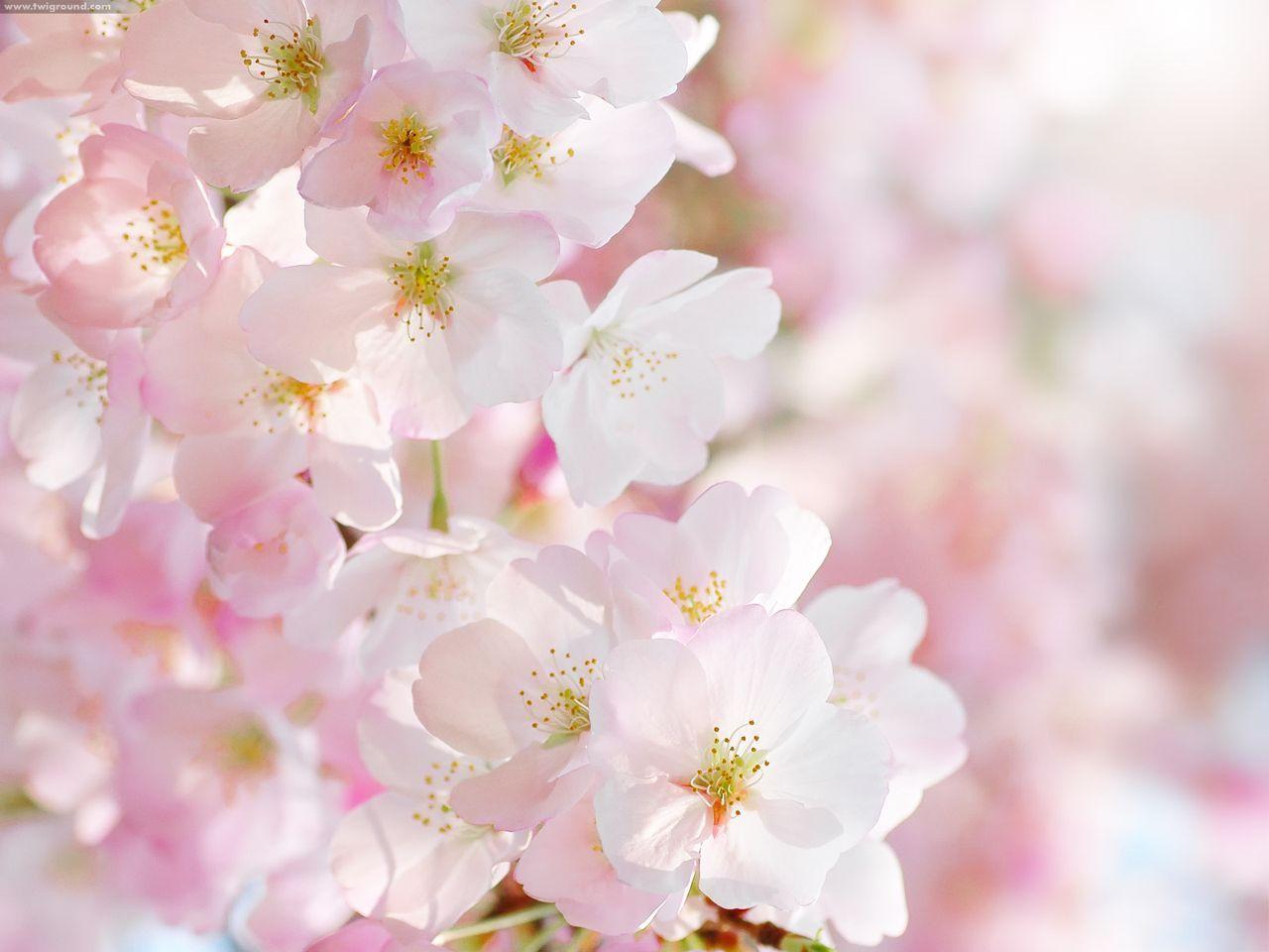 Những hình ảnh hoa anh đào làm hình nền đẹp lộng lẫy - Blog hoa đẹp |  Flower photos, Flowers, Beautiful flowers