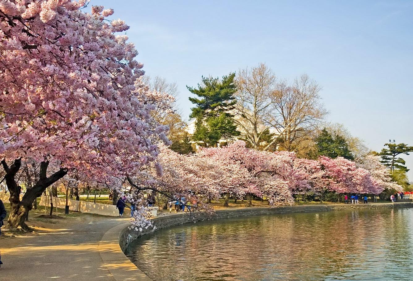 Mùa hoa anh đào đẹp nhất ở nước Mỹ nở vào tháng mấy?